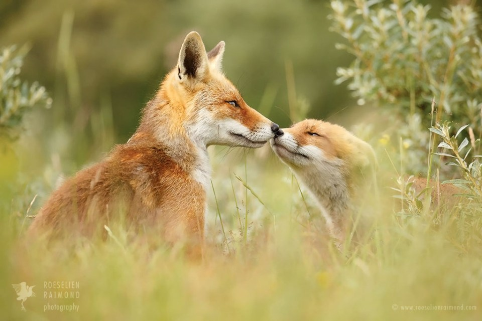 red fox father and daughter kissing