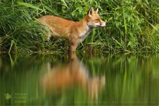 red fox regelcted in the water surface