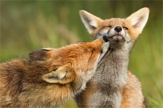 Grooming fox mother and fox kit