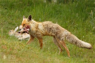 red fox carrying a dead prey, a killed fallow deer