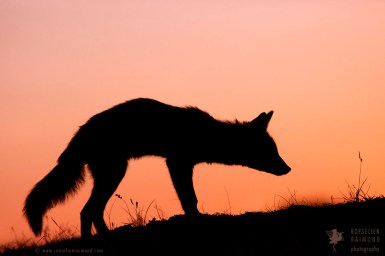 >Red Fox Silhouette at sunset