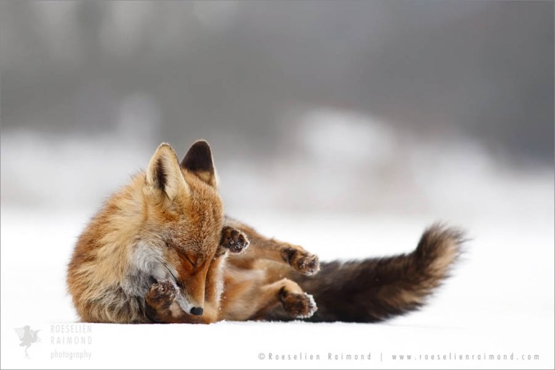 Red fox enjoying rolling in the snow on a cold winter day
