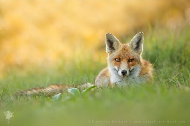 red fox relaxing in the green grass
