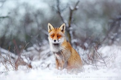 A red fox sitting in the snow in the winter