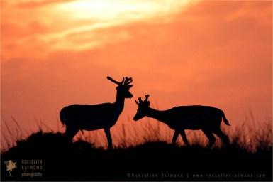 Fallow Deer Silhouettes at Sundown