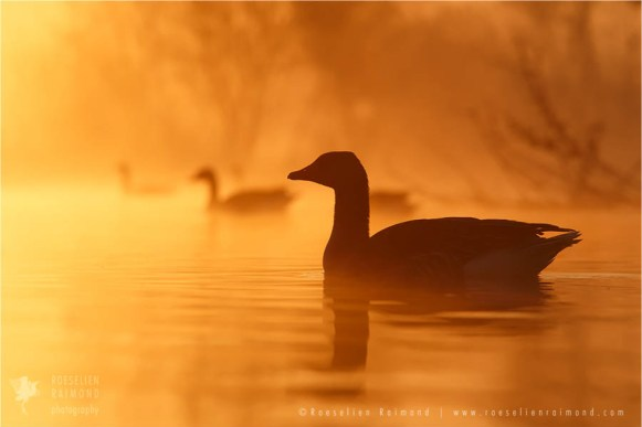 Greaylag geese silhouette at sunrise