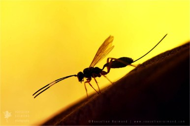 Ichneumon silhouette at sunset