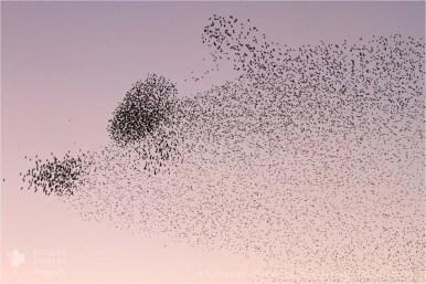 Flock of Starling silhouette at sundown