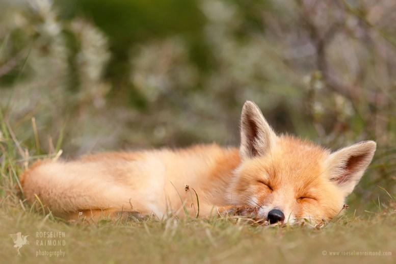 sleeping_fox_cub