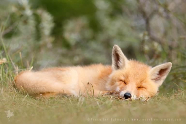 Cute sleeping fox kit