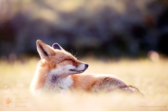 zen_yoga_fox