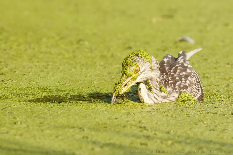 black-crowned night heron,Nycticorax nycticorax,night heron,duckweed