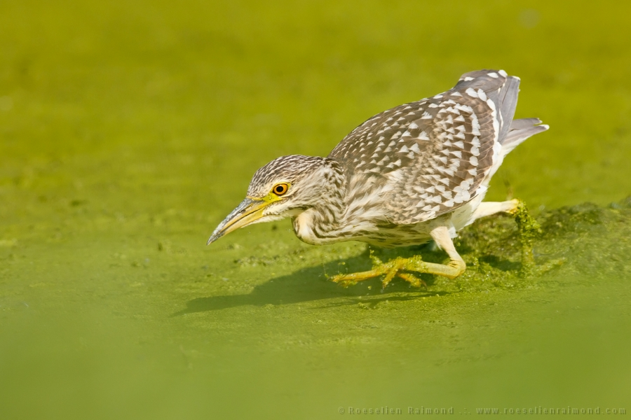 black-crowned night heron,Nycticorax nycticorax,night heron,fishing