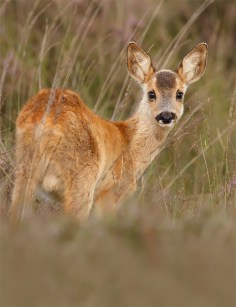 Roe Deer fawn in the Grass
