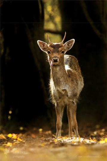 _X1B1304_fallow_deer