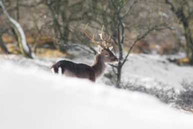 Fallow Deer in the Winter