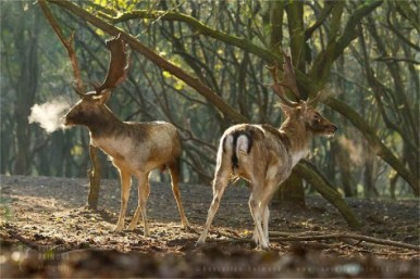 fallowdeer_fight21