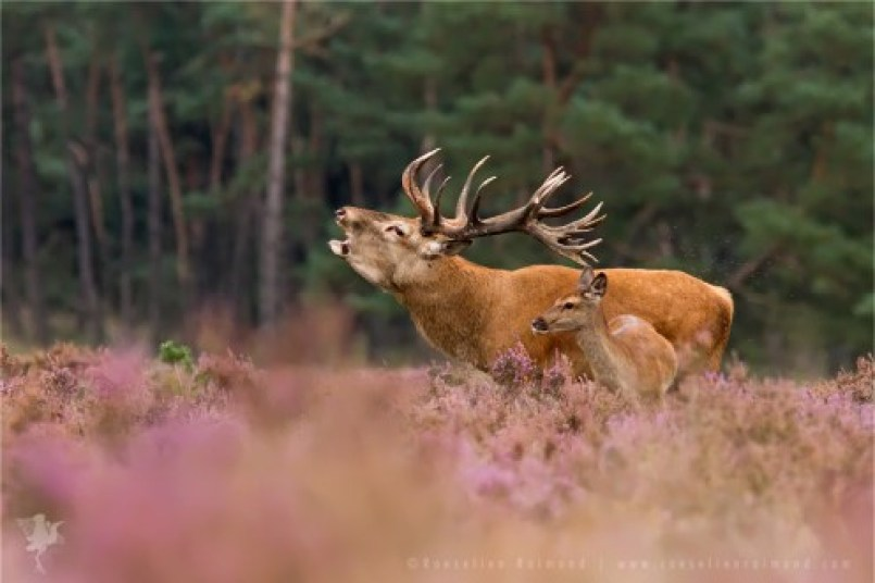 Red Deer Male and Female during the Rutting Season