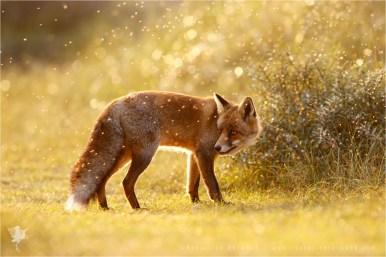 fox vulpes fuchs zorro renard flies sunset backlit backlight rim rimlight