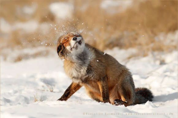 snow winter fox vulpes fuchs zorro renard shaking funny