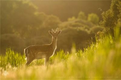 Backlit Young Fallow Deer Buck