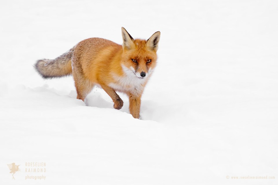 red fox snow