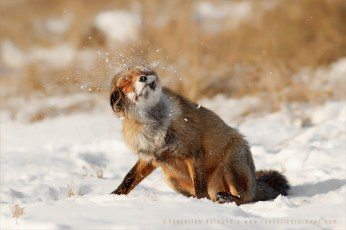 Red fox shaking snow of photo art wall decoration