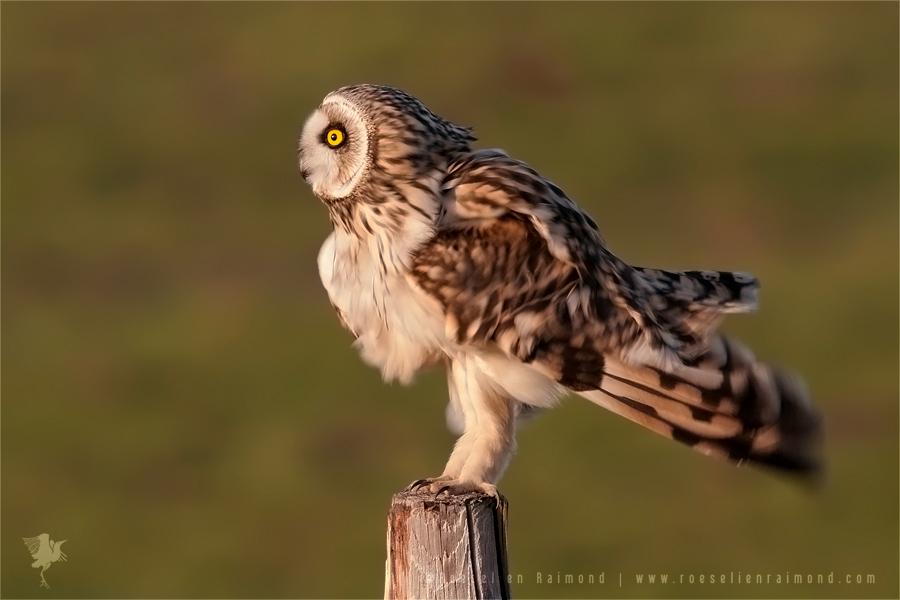 Short-eared Owl Asio flammeus pole fence