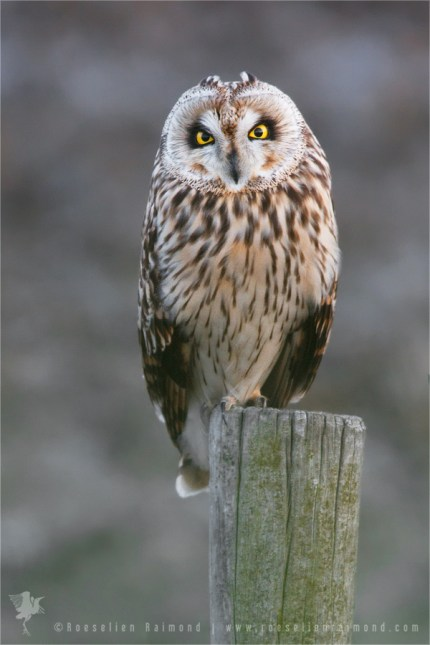 Short-eared Owl Asio flammeus pole