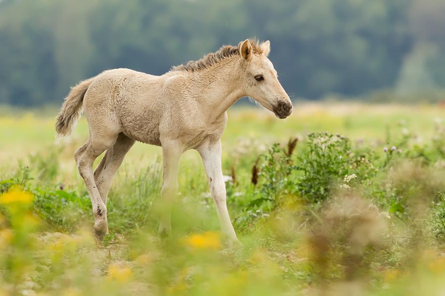 Konik horse Equus caballus foal
