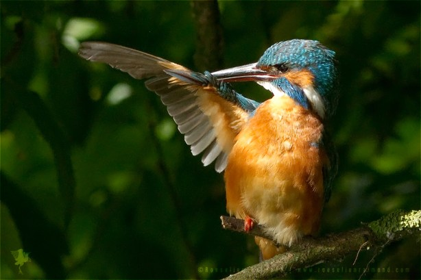 Common Kingfisher Alcedo atthis IJsvogel