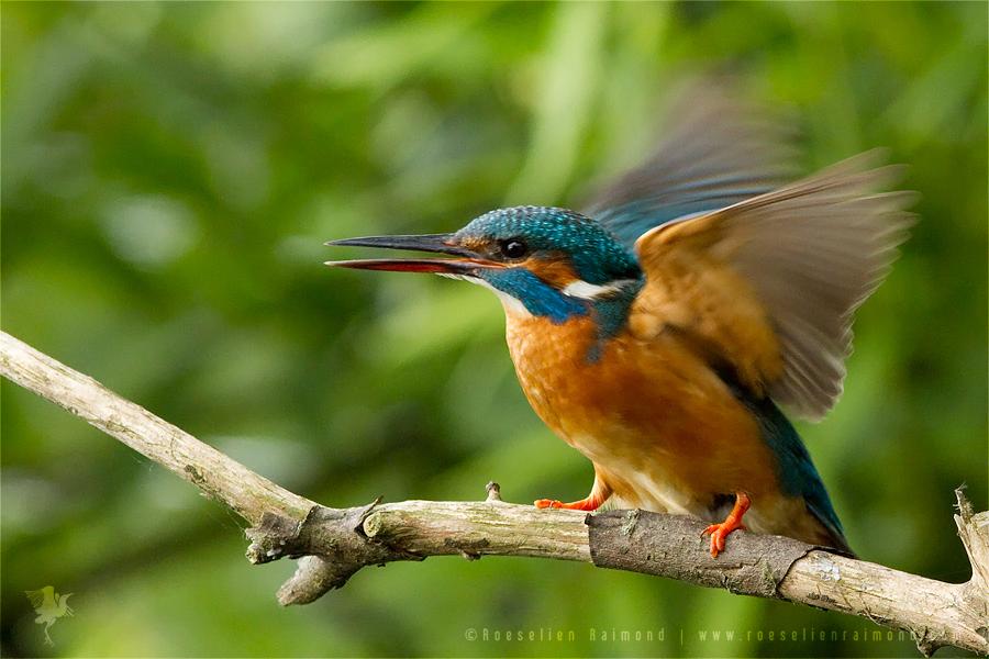 Common Kingfisher Alcedo atthis IJsvogel female wings