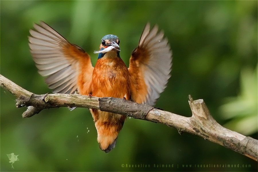 Common Kingfisher Alcedo atthis IJsvogel  wings landing