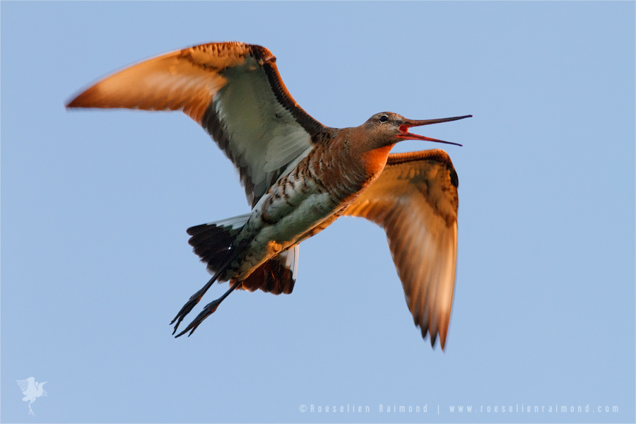 Black-tailed Godwit limosa limosa bird flkying flight