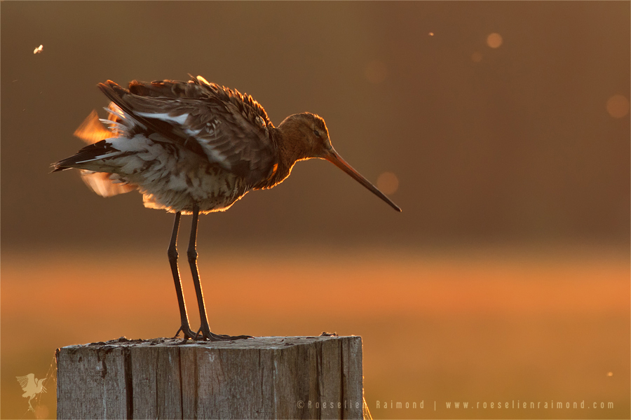 Black-tailed Godwit limosa limosa bird