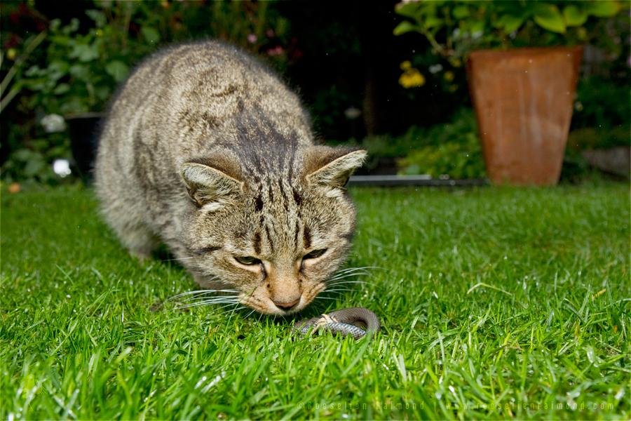 Grass snake Natrix natrix cat prey