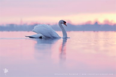Mute Swan Cygnus olor male showing off sunset pink water