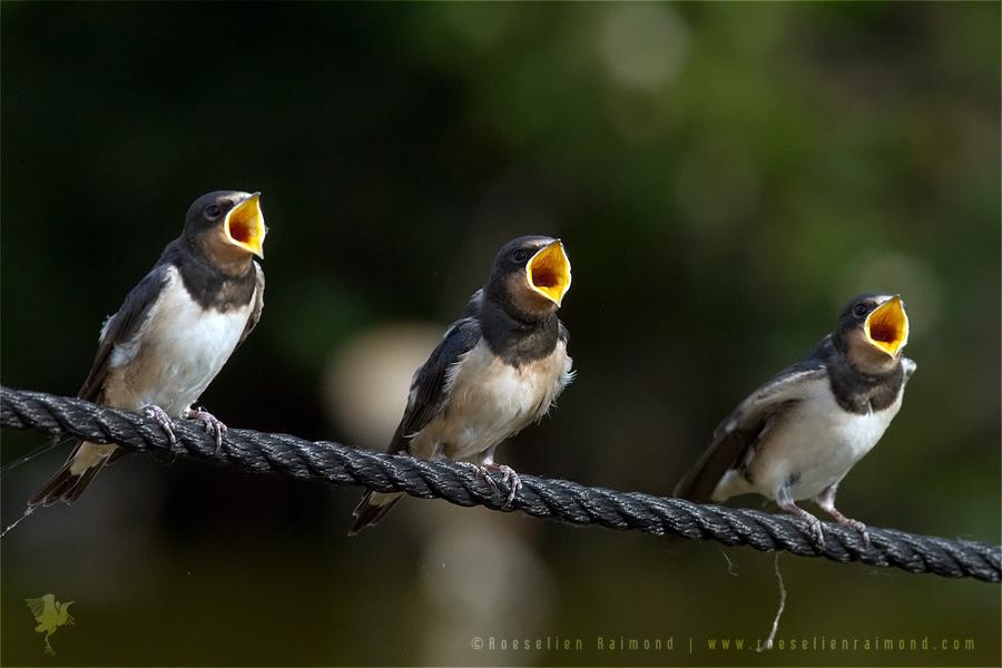 barn swallow, Hirundo rustica, juvenile, nestling