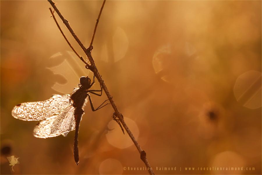Black darter Sympetrum danae sunrise dew heidelibel