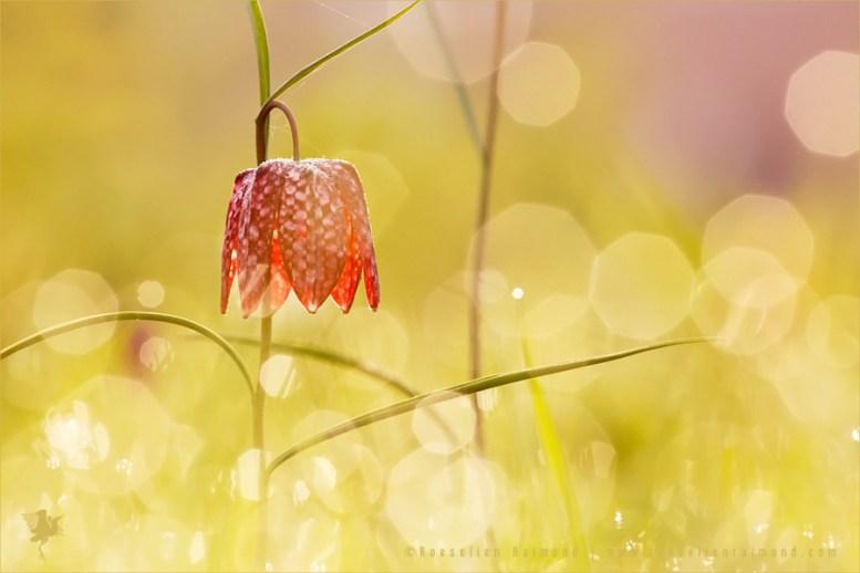 Snake's Head fritillary Fritillaria meleagris kievitsbloem dew sunrise