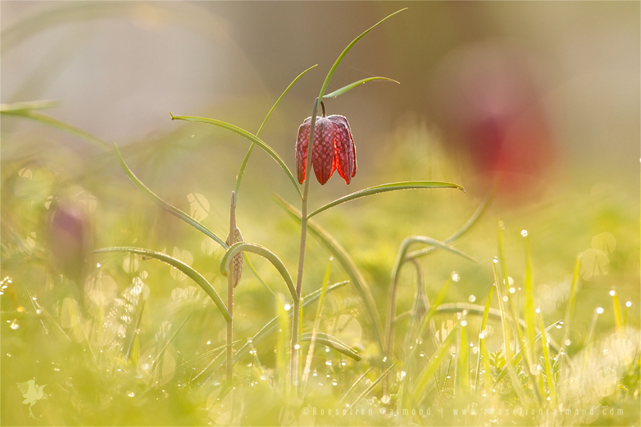 Snake's Head fritillaryFritillaria meleagris kievitsbloem dew sunrise