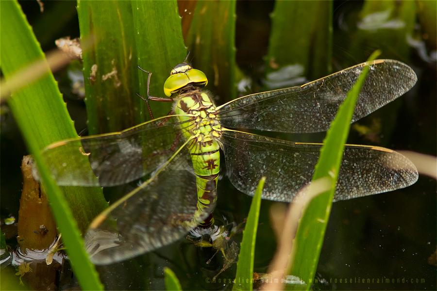 green hakwer Aeshna viridis dragonfly