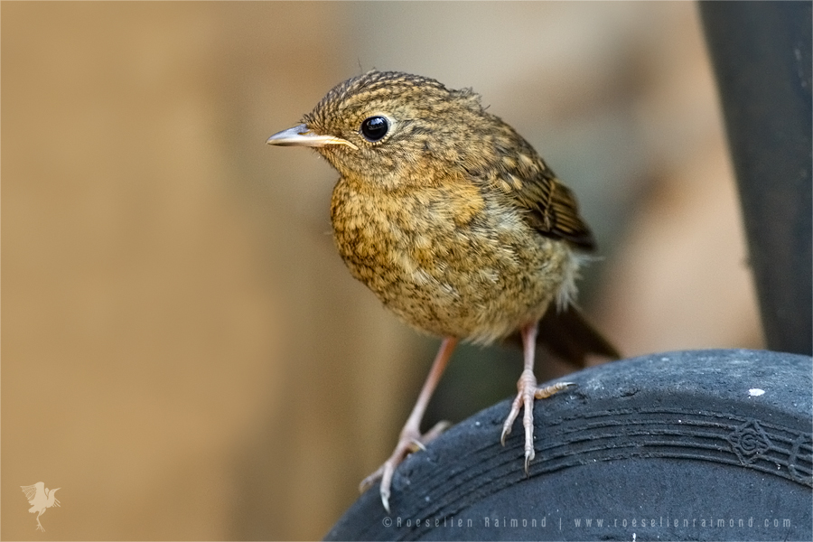 European Robin Erithacus rubecula young nestling baby