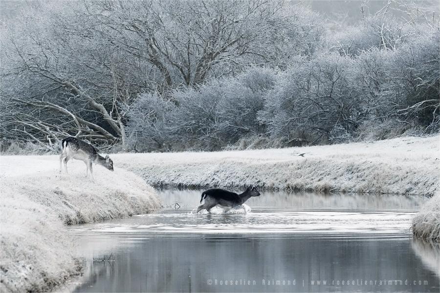 fallow deer snow winter frost rime hoar winter white