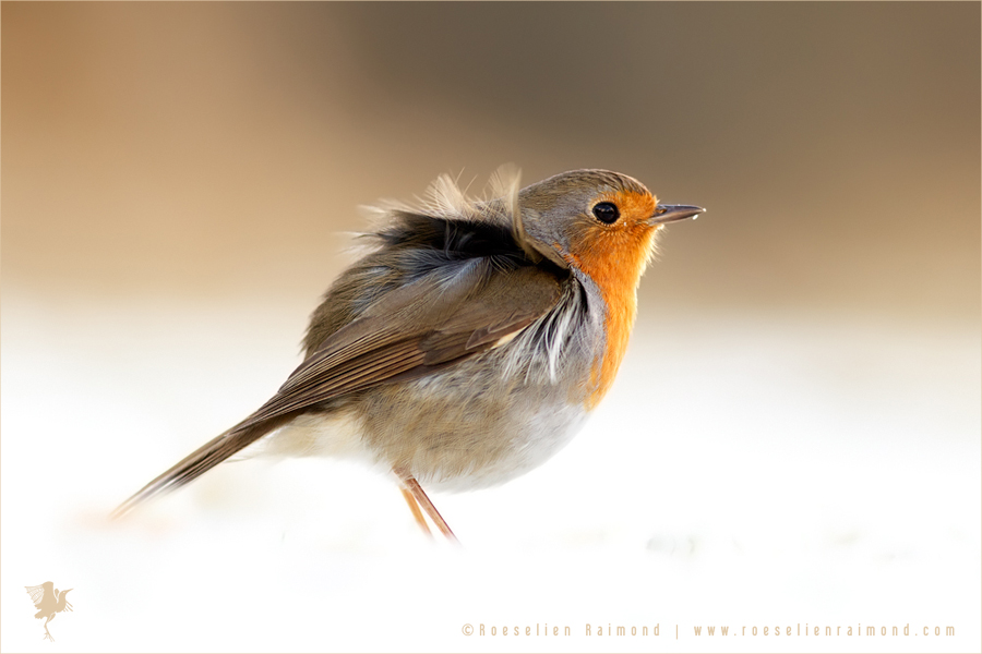 robin snow winter cold