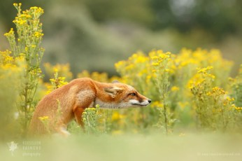 young red fox kit photo art wall decoration f;owers