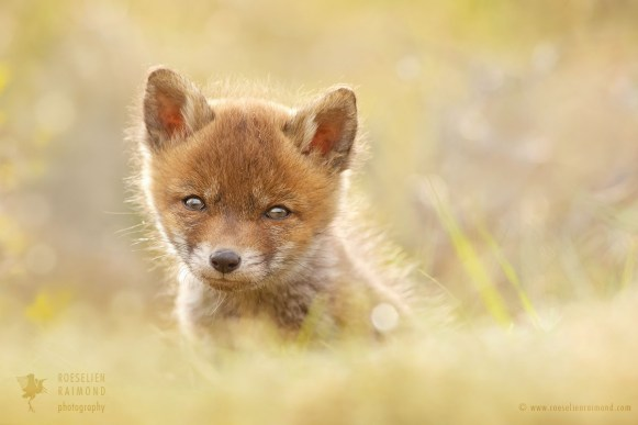 Cute Baby Fox