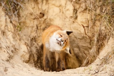 red fox vulpes vulpes sand shaking
