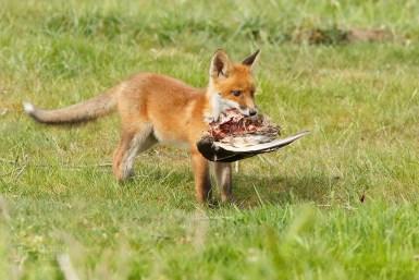 Fox kit with a prey (goose)