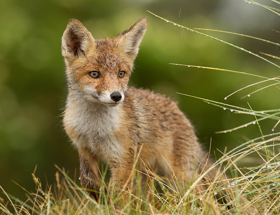A wet fox kit after a heavy raining